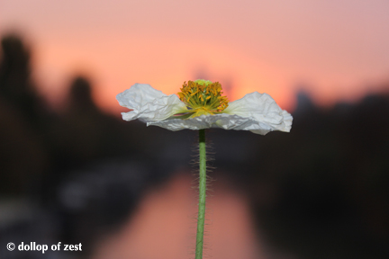 IMG_3755 flower sunset